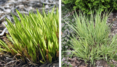 Variegata in early spring (L) and late spring (R).