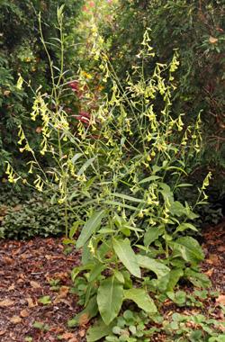 NIcotiana langsdorffii in bloom.