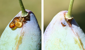 The sap (left) is from a plum curculio egg laying scar, which is readily visible with the sap removed (right)