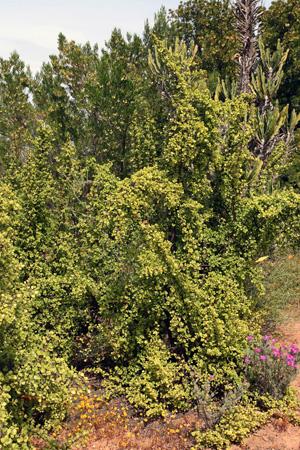 Portulacaria afra, at the Karoo Desert Botanical Garden, Worcester, South Africa.