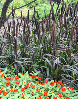 Purple Barron ornamental millet.