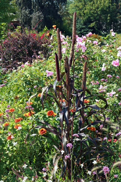 The dark foliage and tall form of Purple Majesty stands out among other ornamentals.