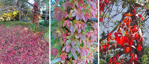 In the fall the foliage turns bright red or purple making the plants much more conspicuous than during the summer.
