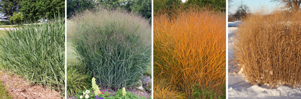 'Heavy Metal' from late spring (L) to summer (LC), with colorful fall color (RC) and dry, tan foliage in winter (R).