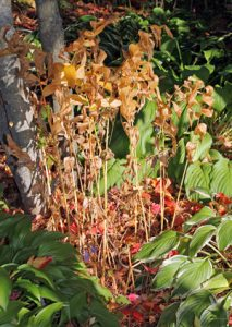 The foliage of Solomon's seal turns yellow or brown in autumn.