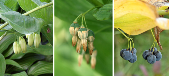 Polygonatum species have hanging, bell-shaped flowers like these of P. biflorum (L) that eventually form fruits later in the season (R).