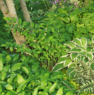 Solomons seals combine well with other shade-loving plants such as hostas.