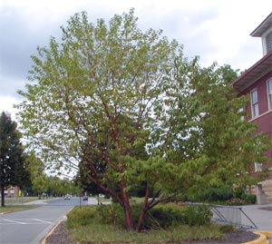 Prunus maackii is an attractive small tree for the north.