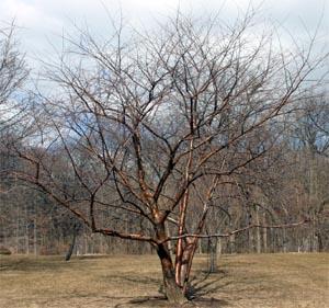 Amur cherry in winter.