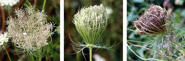 As the seeds ripen, the inflorescence curls inward to form a birds nest shape and turns a brownish color.