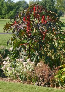 The large leaves and unusual seed pods make castor bean a dramatic addition to the ornamental garden.