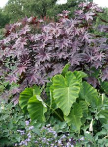 There are many cultivars of castor bean, with ornamental types selected for different leaf color and plant height.