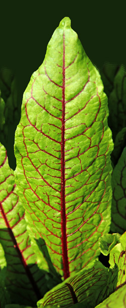 The leaves of bloody dock have a distinctive network or brightly colored veins.