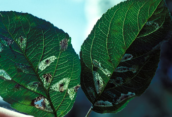 The spotted nature of leaf mines becomes apparent when leaves are held up to the light.