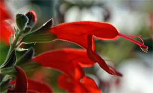 Like other plants in the mint family, scarlet sage flowers have a colorful corolla emerging from the calyx.