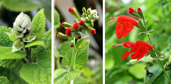 Salvia coccinea flower spike developing (L), flowers starting to develop (C), and flowers blooming (R).