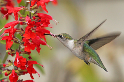 Salvia coccinea is highly attractive to hummingbirds.