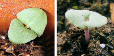 Seedlings of Salvia coccinea viewed from above (L) and the side (R).
