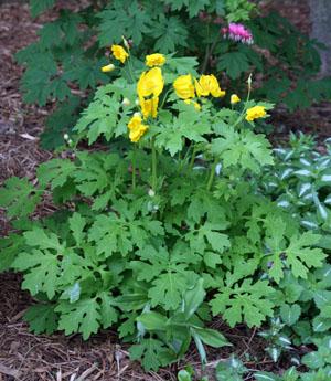 Celandine poppy, Stylophorum diphyllum
