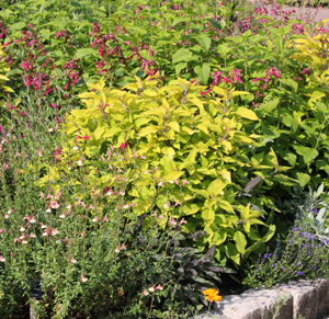Pineapple sage is often grown for its vibrant foliage rather than the flowers.