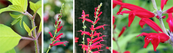 The flowers of pineapple sage start in a recurved inflorescence (L) that straigtens up and flowers bloom sequentially from the bottom up (LC). The flowers are produced in whorls (RC) and each flower has a hood-like upper lip and a spreading lower lip typical of salvias (R).