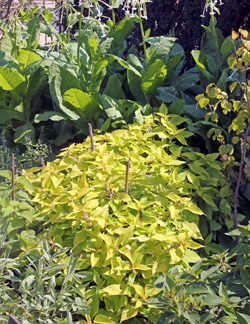 Grow pineapple sage in full sun.