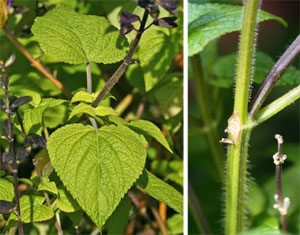 The pointed oval leaves are borne on square stems, a characteristic of the mint family.