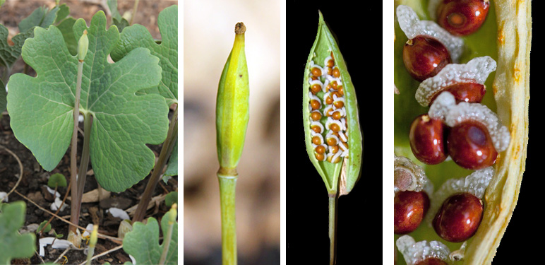 Elongated seed pods are produced (L and LC) which are filled with reddish seeds (RC) that each have a fleshy elaisome (R) that is attractive to ants.
