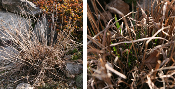 The foliage dies back in winter in cold climates (L) and new shoots emerge in spring (R).