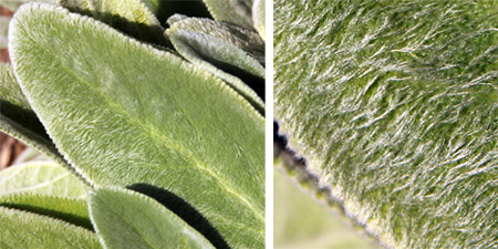 The large leaves are densely covered with hairs that give the characteristic furry look.