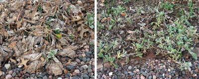 Dead foliage (L) should be removed (R) in early spring to improve the apprearance of the clumps.