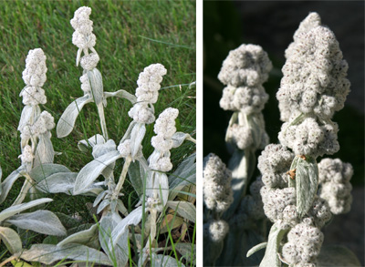 The sterile plants produce flowering stems with fuzzy clusters where the flowers would normally be.