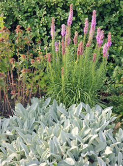 The foliage of this cultivar of lambs ear combines well with other perennials.