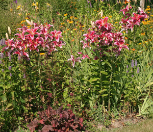 Plant lilies in groups for best effect.