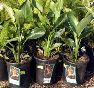 Small bird of paradise can be purchased at nurseries or by mail order.