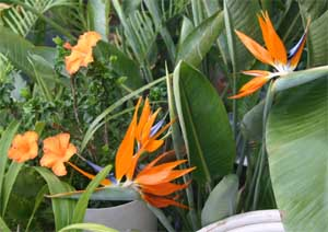 Bird of paradise can be grown as a houseplant to lend a tropical flair.