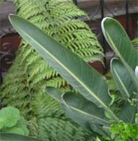Bird of paradise has leathery leaves.