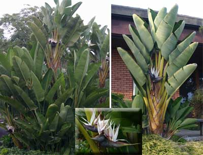 Landscape plants of white or giant bird of paradise in bloom in San Diego.