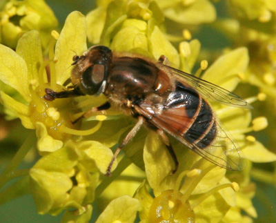 A hoverfly feeds on Norwary maple flowers.