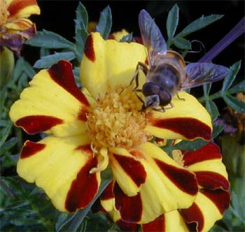 Many hover flies resemble bees.