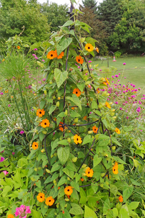 Black-eyed Susan vine will quickly cover small structures.