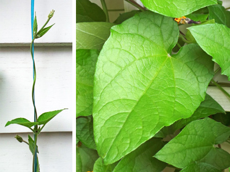 This vine grows by twisting around supports (L) and had heart-shaped, softly hairy leaves (R).
