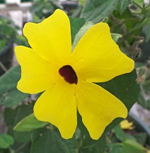 A yellow cultivar.