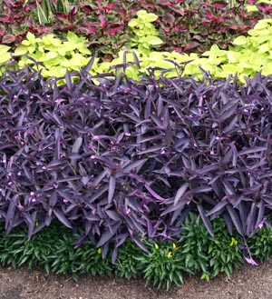 Purple Heart (Tradescantia pallida) used as a bedding plant at the Missouri Botanical Garden.