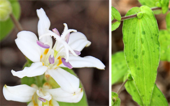 White Towers has white flowers (L) and spotted leaves (R).