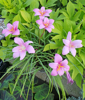 High Pretty Rain Lily Bulbs Rhizomes Flower Zephyranthes Potted Bonsai Blooming