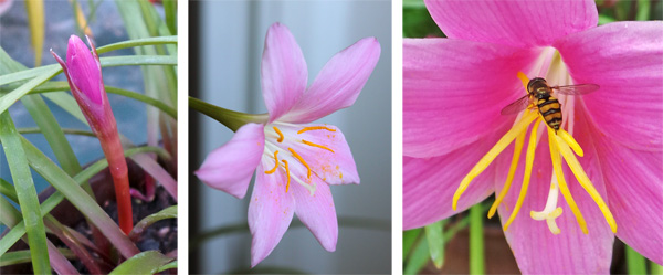 The solitary flowers (C) emerge from tight buds (L). Each has a three-parted stigma and golden anthers (R).