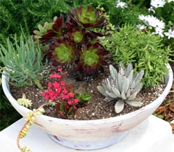 Aeoniums are a good addtion to a dish garden.