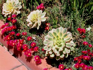 Aeoniums need porous, well-drained soil like other succulents do.