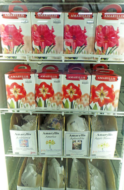 Amaryllis bulb kits and selected cultivars for sale.